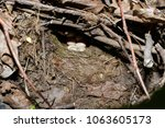 erithacus rubecula. the nest of ...   Shutterstock . vector #1063605173