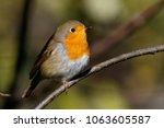 robin  erithacus rubecula .... | Shutterstock . vector #1063605587