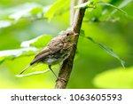 robin  erithacus rubecula .... | Shutterstock . vector #1063605593