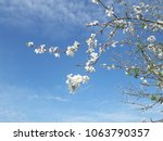 white blossoms and blue sky | Shutterstock . vector #1063790357