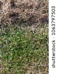 Small photo of Many felts on green grass after aeration of the lawn