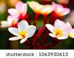 plumeria flower pink and white... | Shutterstock . vector #1063930613