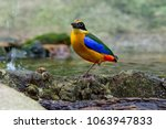 Small photo of Blue-winged Pitta or Pitta moluccensis ( Passeriformes) in the habitat.