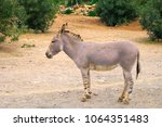 single somali wild ass donkey ... | Shutterstock . vector #1064351483