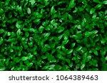 Green Hedge Of Shrub...