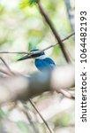 bird  collared kingfisher ... | Shutterstock . vector #1064482193