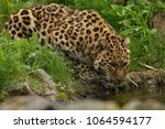 endangered amur leopard in the... | Shutterstock . vector #1064594177