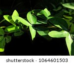 Small photo of Light and shadow on surface of many Alexandria senna leaves are growing on black background on herb plant concept