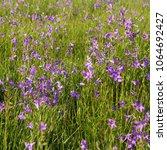 purple spreading bellflower on...   Shutterstock . vector #1064692427