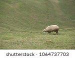 herd of sheep on green pasture. ... | Shutterstock . vector #1064737703