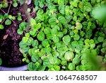 fresh mint leafs  mint herbs ... | Shutterstock . vector #1064768507