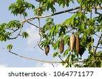 ceiba pentandra full bloom of... | Shutterstock . vector #1064771177