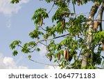 ceiba pentandra full bloom of... | Shutterstock . vector #1064771183