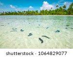 sea cucumbers in shallow water... | Shutterstock . vector #1064829077
