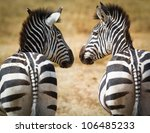 Two Zebra Looking At Each Other
