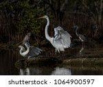 snowy egret  great egret and... | Shutterstock . vector #1064900597