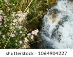 dainty small pink wildflowers... | Shutterstock . vector #1064904227
