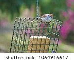 a single cute chipping sparrow  ... | Shutterstock . vector #1064916617