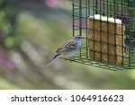 a single cute chipping sparrow  ... | Shutterstock . vector #1064916623