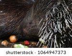 porcupine   the prickliest of... | Shutterstock . vector #1064947373
