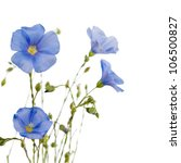 Stock photo beautiful flowers of flax isolated on white background 106500827