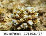 Small photo of Closeup of young branching coral's blue white growth tips, Acropora florida