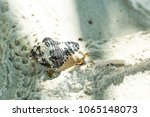 a hermit crab is hiding inside... | Shutterstock . vector #1065148073