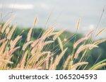 close up of pink reeds grass...