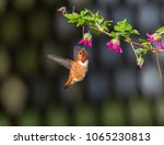 rufous hummingbird  selasphorus ... | Shutterstock . vector #1065230813