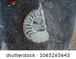 Small photo of Petrified fossil shell of ammonites in polished stone