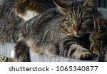 Small photo of Close up for one of three cats resting on brick windowsill. Face, eyes, suspictious. Belgium, Ardens