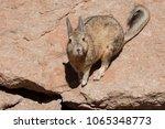 Small photo of Southern Viscacha or Vizcacha (Lagidium Viscacia) in Siloli Desert - Bolivia, South America