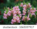 Small photo of White Antirrhinum magus flower in full bloom with green leaf