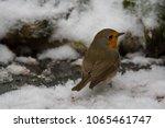 a european robin looking over...   Shutterstock . vector #1065461747