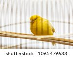a yellow canary in his cage | Shutterstock . vector #1065479633