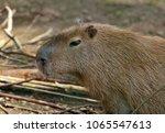 capybara animal in nature   Shutterstock . vector #1065547613