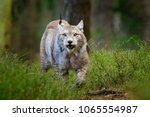 wildlife scene from nature.... | Shutterstock . vector #1065554987