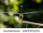 endangered dragonfly   chinese... | Shutterstock . vector #1065592253