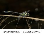 endangered dragonfly   chinese... | Shutterstock . vector #1065592943