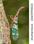 pyrops candelaria on tree | Shutterstock . vector #1065594023