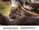 sumatran tiger  panthera tigris ... | Shutterstock . vector #1065599927