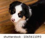 australian shepherd purebred... | Shutterstock . vector #1065611093