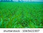 Small photo of cane farm, cane farm from Thailand, cane