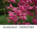 beautiful pink flower blossom | Shutterstock . vector #1065627683
