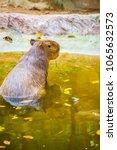 capybara in thai  thailand.   Shutterstock . vector #1065632573