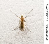 Small photo of Yellow Fever, Malaria or Zika Virus Infected Mosquito Insect on Wall