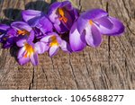 purple crocus flowers on rustic ... | Shutterstock . vector #1065688277