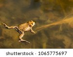common toad or european toad... | Shutterstock . vector #1065775697