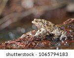 bufo bufo  common toad  | Shutterstock . vector #1065794183
