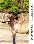 Small photo of Equus ferus przewalskii or Dzungarian horse, rare and endangered subspecies of wild horse